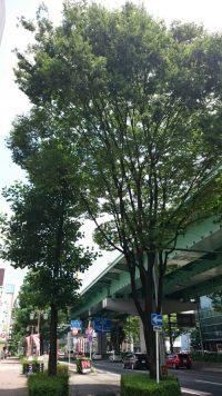 20170713_街路樹